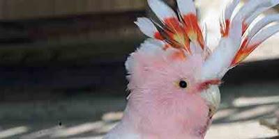 Foto seekor burung kakatua bernama Cookie