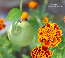 Citrontrd och tagetes
