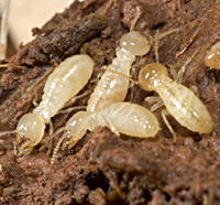 Termite worker - photo#17