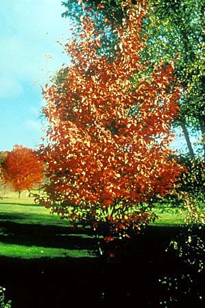 Autumn Brilliance Serviceberry4