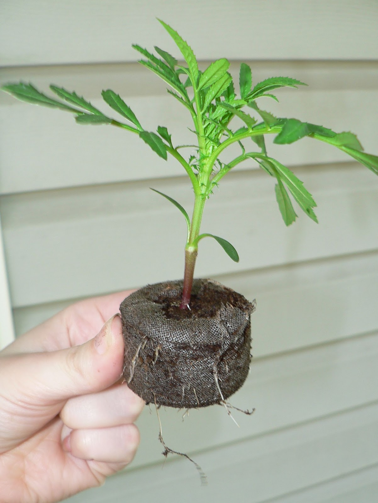 Visit My Garden: Seed Starting Marigold Plant With Roots