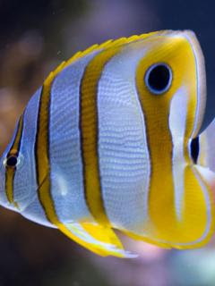 yellow fish free mobile wallpaper