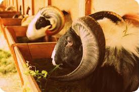Forum Sunda Ngumbara Minta Ahmad Heryawan Kembangkan Domba Garut di Papua