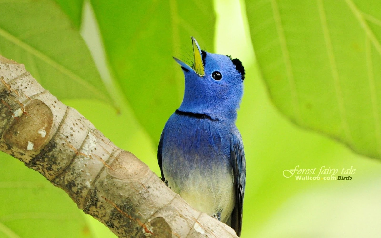 Blue Birds Wallpapers