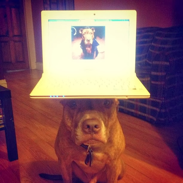 Scout the pit bull balances stuff on his head (30 pics), stuff on Scout's head, scout balances laptop on his head