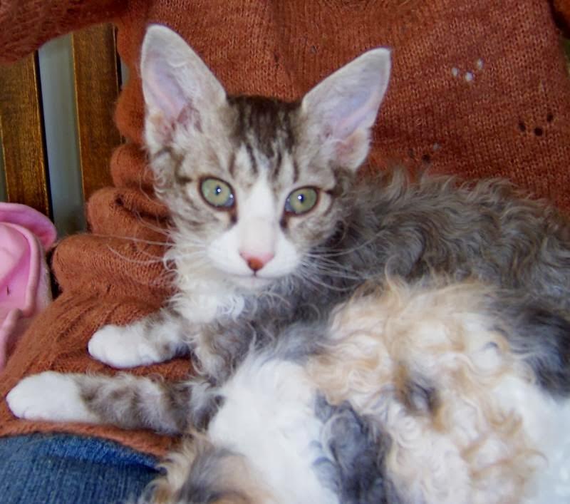 Cat Lucky Laperm Cat Breed