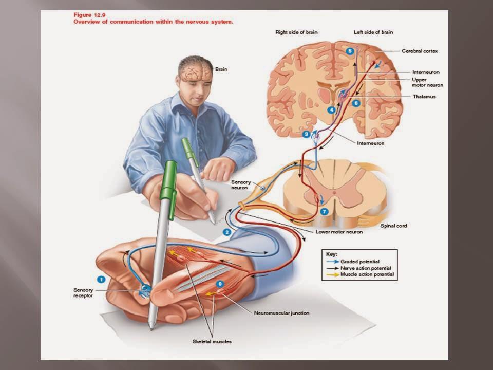 Eduardo pianca fisioterapeuta e professor universitrio fevereiro neurofisiologia ccuart Images