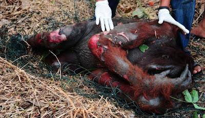 Derita Orangutan - Part II