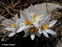 Crocus yakarianus