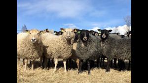 Våra får / OUR SHEEP