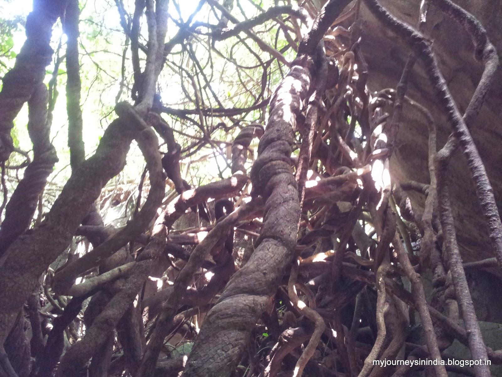 Trees growing on rocks - Siddarabetta