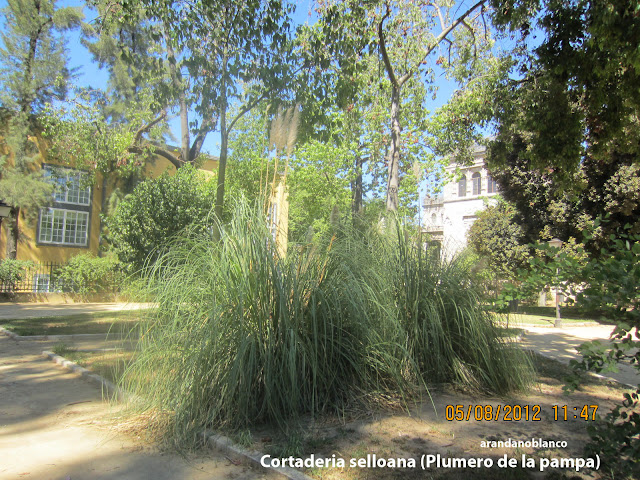 arbustosensevilla encinarosa plumero cortaderia selloana carrizo de la pampa hierba de. Black Bedroom Furniture Sets. Home Design Ideas