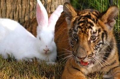 Shio Kelinci dan Harimau