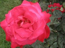 Roses franques