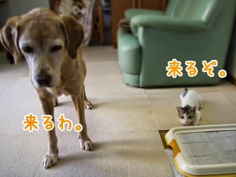 飛んでくるボールを待っている子猫と犬 dog and kitten playing