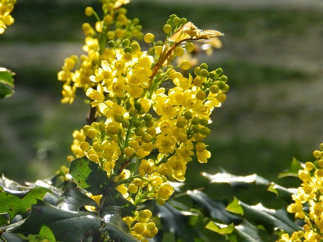 Life between the flowers evergreen winter yellow flowering spiky when planting mahonia as with any shrub you should soak the root ball or submerge its pot in a bucket before you plant it and mix in a handful of fish mightylinksfo