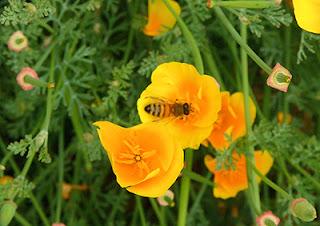 California Poppy with Honeybee