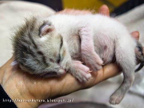 手の上で眠る子猫 横耳