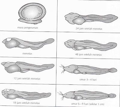 Cara Menetaskan Telur Ikan Lele Hasil Pemijahan