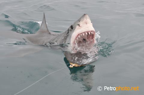 The angry fisherman white shark for Great white shark fishing