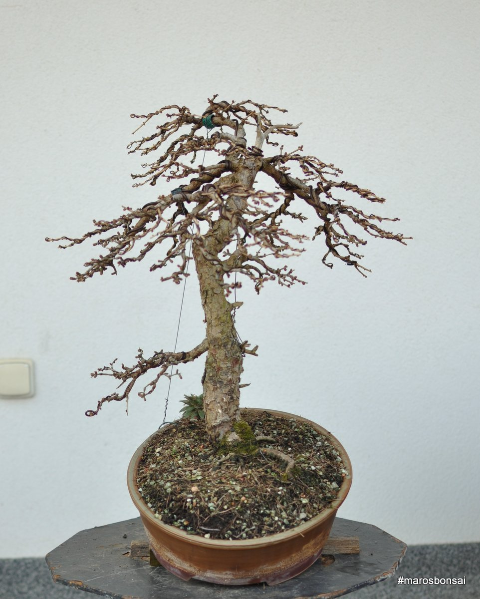 Maros Bonsai Blog Larix Decidua No1 After Wiring