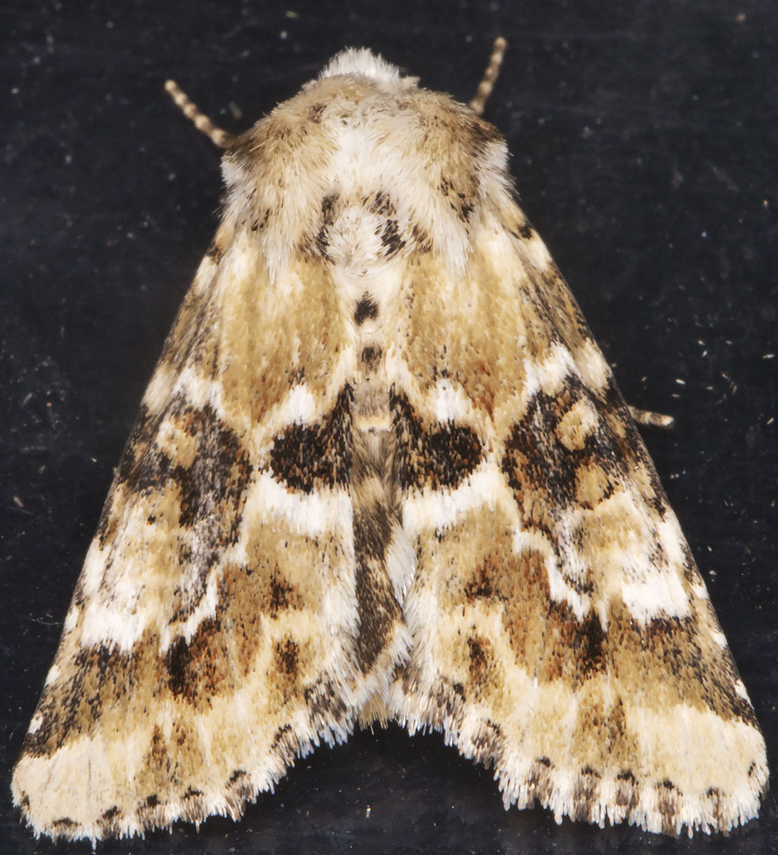 Dusky Sallow, Eremobia ochroleuca.  Noctuidae.  West Wickham Common light trap, 16 July 2014.