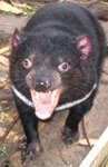 Save the Tasmanian Devil