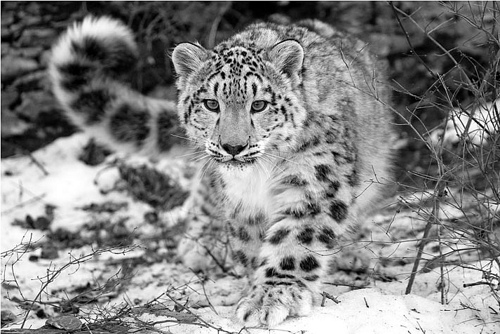 Snow leopard hunting prey - photo#12