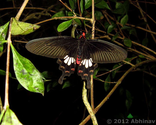 Red Swallowtail Butterfly - Common Rose