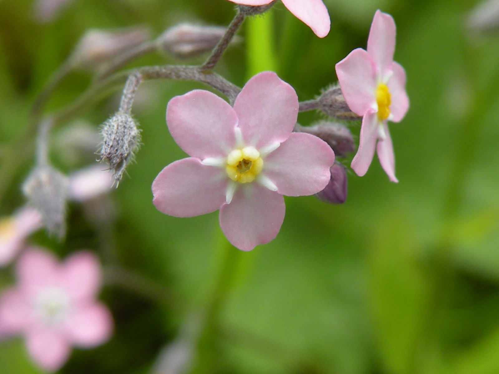 Wild Flowers List Forget Me Not Pink