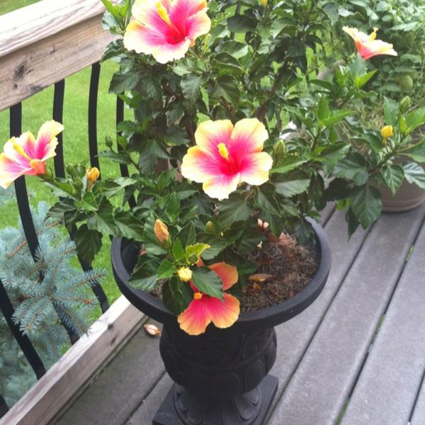 Um jardim para cuidar: Hibisco, um dos meus arbustos ...