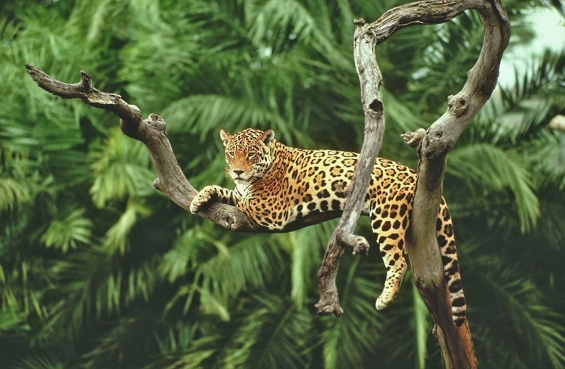 http://2.bp.blogspot.com/-RtgYI5o6K4k/VIwMjqcfFSI/AAAAAAAAu7Y/turfk_p7hDk/s1600/jaguaro_amazzonia.jpg