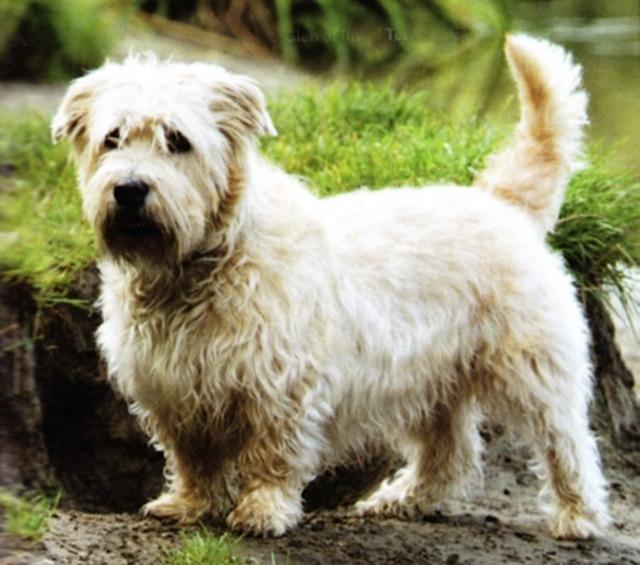 Glen of imaal terrier pictures terrier dog breeds pictures and glen of imaal terrier pictures thecheapjerseys Image collections
