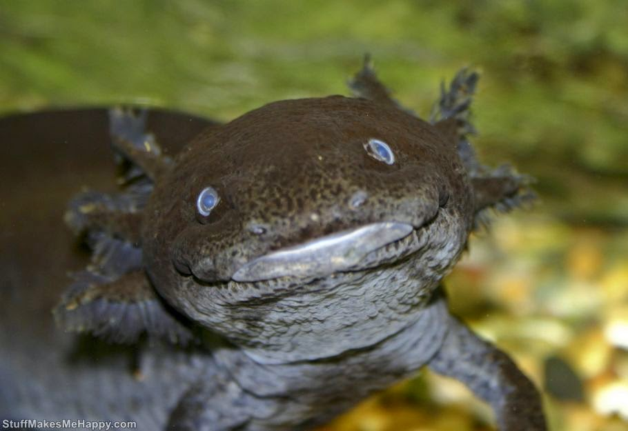 Axolotl, Photo by Brian Gratwicke
