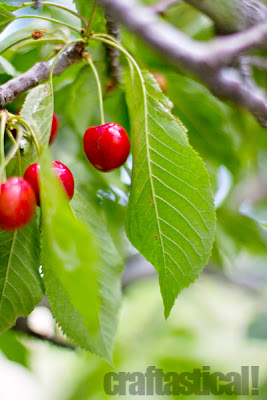beautiful cherries on the tree, Royal Ann or corum cherries--they are perfect for jams and jellys. Also for Maraschino cherries.