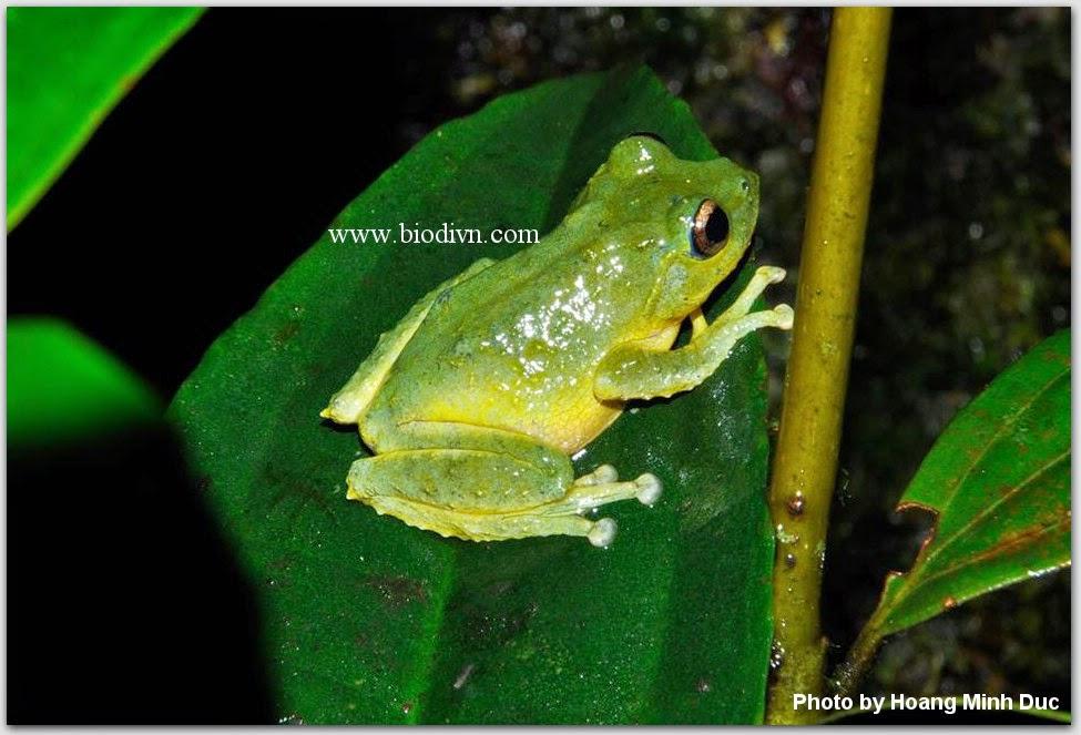 Ếch-cây-xanh-nhạt-Kurixalus-viridescens