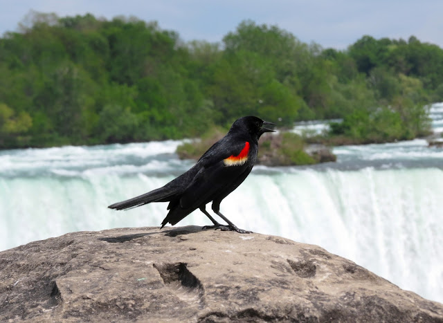 Red-winged Blackbird - Niagara Falls, New York