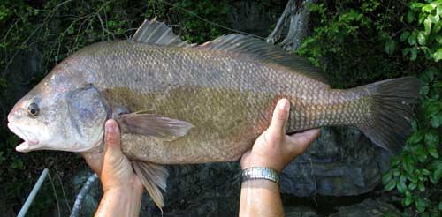Fish index freshwater drum aplodinotus grunniens for How to cook drum fish
