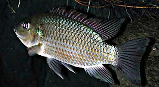 Tips Jitu Teknik Memancing,umpan mancing ikan nila di danau,kolam,nila liar,nila merah,