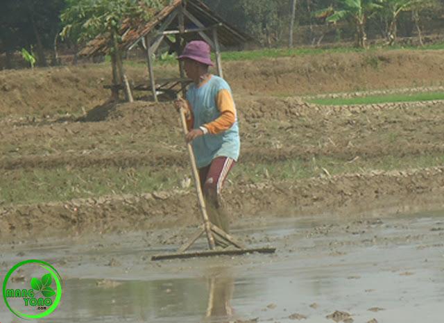 Mengenal NGALEPA Teknik Petani Padi Pagaden Barat, Subang