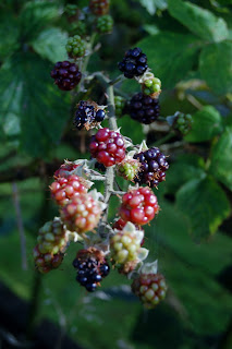 Why we grow blackberries