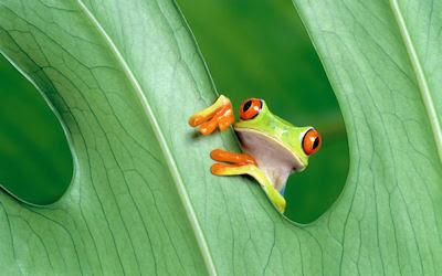 La rana que siempre soño con ser inmortal - Green frog