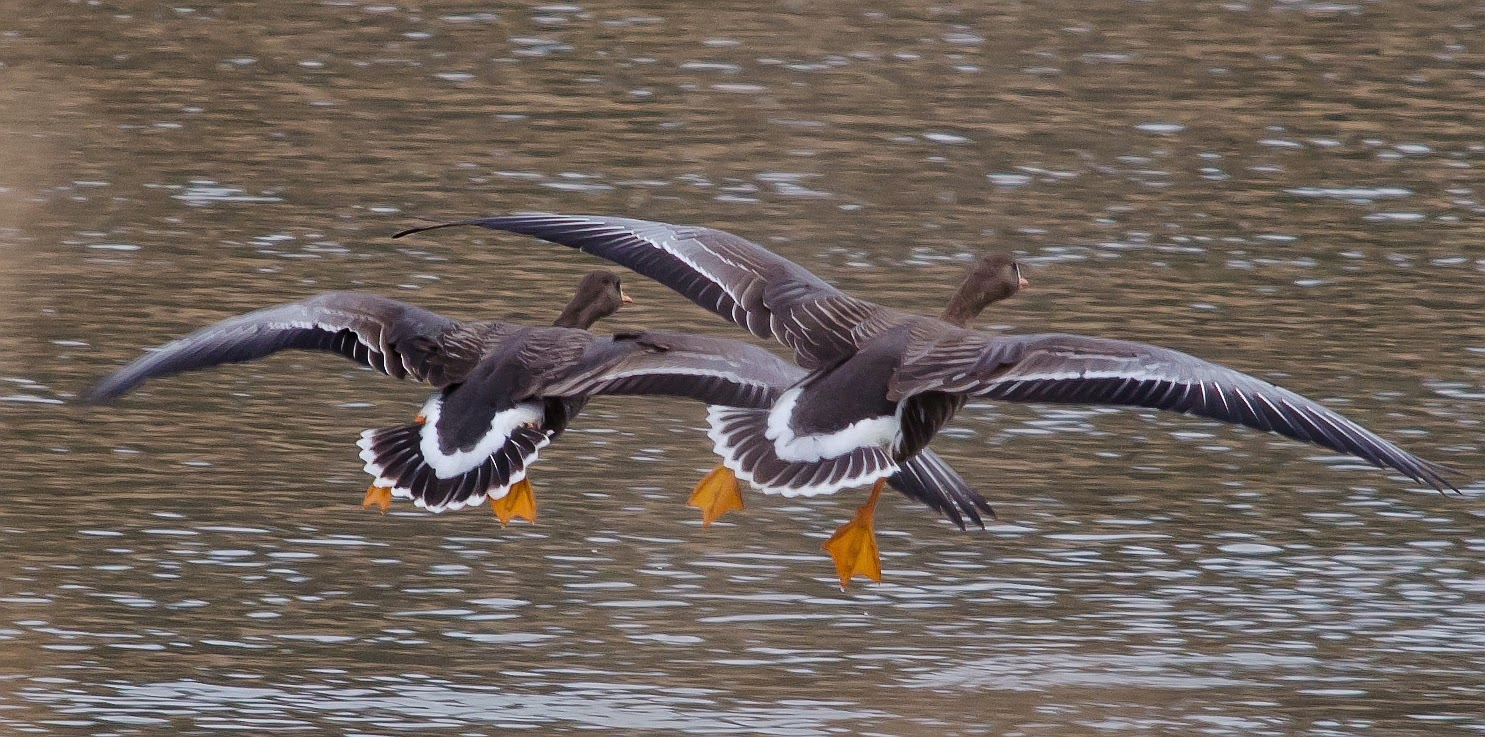 Greater White-Fronted Goose Flying