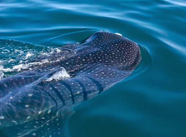 El tiburón ballena con el que nadé en Holbox.  Aunque la palabra tiburón asustará a los que  ven demasiadas películas, este enorme pez es  un animal amistoso que se alimenta de placton.