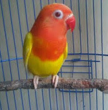 Jenis Warna Burung Love Bird Lutino