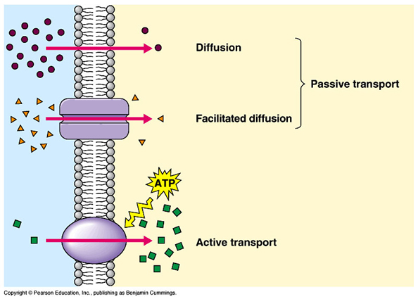 Caits ap biology blog diffusion osmosis and active transport first off lets cover diffusion diffusion is the tendency for molecules of any substance to spread out evenly diffusion can be broken down into two main ccuart Gallery