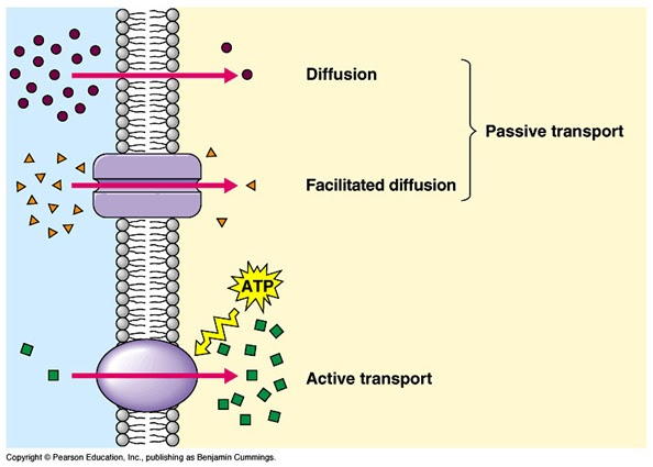 Diffusion, Osmosis and Active Transport .... What YOU Need to Know :)