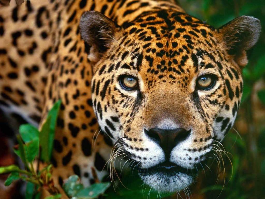 El Leopardo | El Mundo Salvaje