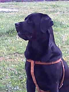 Zeus, labrador robado en San Asensio, La Rioja