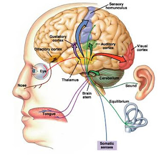 vị giác, khứu giác, thị giác, thính giác